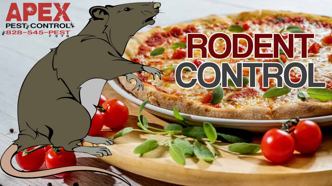 rodent control asheville
