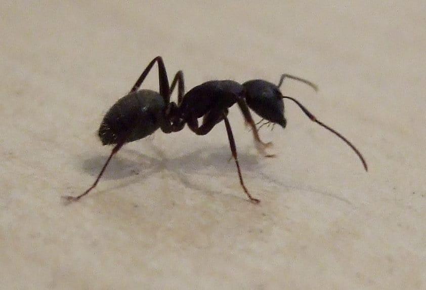 get rid of carpenter_ants
