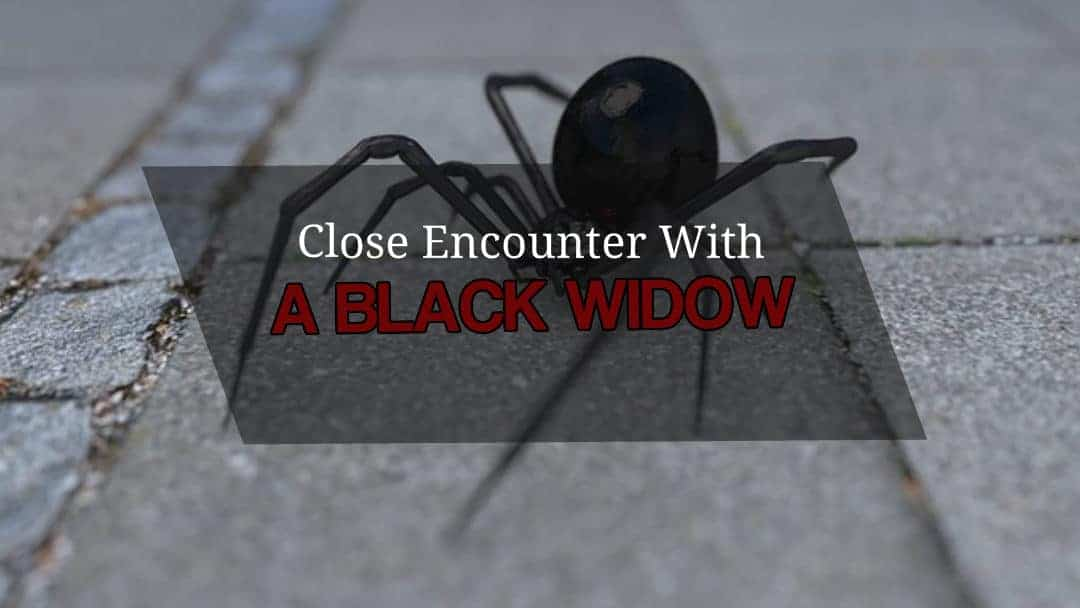 A Dangerous Black Widow Encounter