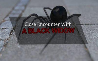 A Dangerous Black Widow Encounter