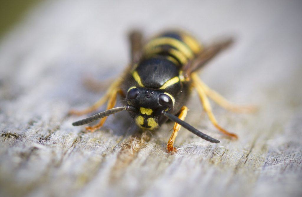 Wasp Nest Removal Should Be Left To Pest Professionals 1