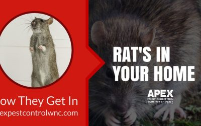 How Rats Get Into Your Home